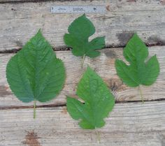 Mulberry. Leaves from the same mulberry tree