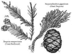 The Wild Garden: Hansen's Northwest Native Plant Database | denser shading sequoia pine cone
