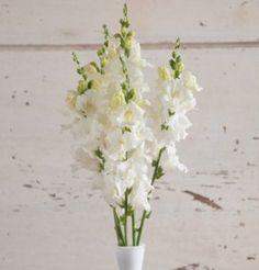 David's Garden Seeds Flower Snapdragon Chantilly White (White) 50 Non-GMO, Hybrid Seeds Edible Flowers, All Flowers, Wedding Flowers, Spring Flowers, White Flowers, Garden Seeds, Planting Seeds, Fall Planting, Garden Plants