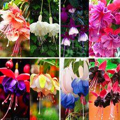 120 seeds /bag Fuchsia seeds  lantern flower indoor balcony bonsai seed flower  seeds