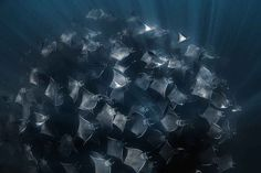 When and Where to Go Scuba Diving with Mobula Rays | Sport Diver