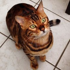 If you ask me, I see the beauty in all animals. However, there are certain features in some animals that typically stand out and are worthy of admiration. Take this cat for example. His name is Thor, he's a Bengal cat who seems to have been blessed with the most beautiful fur pattern. Take a …