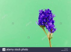 plant, flower, bloom, blossom, flora, dry flowers, purple, green backgound Stock Photo