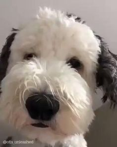 Ohmigosh I want this sweet dog! Cute Funny Dogs, Cute Funny Animals, Cute Baby Animals, Cute Animal Videos, Funny Animal Pictures, Dog Pictures, Cute Dogs And Puppies, I Love Dogs, Doggies