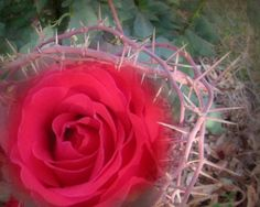 - Rose Among the Thorns