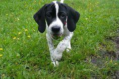 english pointer dog photo | Photo English pointer (Dog standard) (English Pointer)