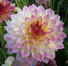 Dahlia 'Sailors Warning'