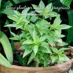 Como plantar e cultivar manjericão - Dicas e passo a passo com fotos - How to grow Basil - Madame Criativa - www.madamecriativa.com.br
