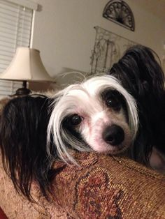 Sweet Chinese Crested hairless