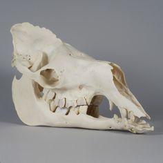 Camel Skull.