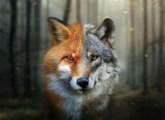 Same fox~wolf