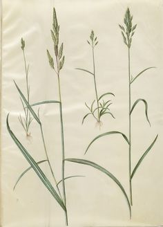 "Hans Simon Holtzbecker (1610-20 - 1971), ""Bromus hordeaceus; Phalaris arundinacea"", 1649-1659, KKSgb2950/90"