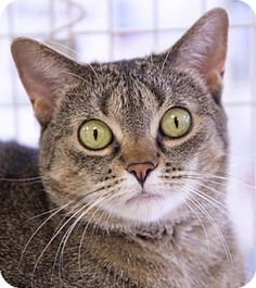 Chicago, IL - Domestic Shorthair. Meet Gracie, a cat for adoption. http://www.adoptapet.com/pet/13561810-chicago-illinois-cat