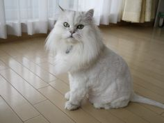 Long haired Chinchilla in summer lion trim