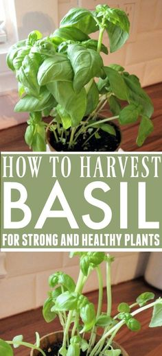 How to Harvest Basil for Strong and Productive Plants!   The Creek Line House Container Gardening Vegetables, Succulents In Containers, Planting Vegetables, Container Plants, Growing Vegetables, Vegetable Gardening, Container Flowers, Indoor Gardening, Diy Herb Garden