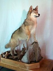 Coyote on Habitat box - Fur, Feathers & Fins Taxidermy