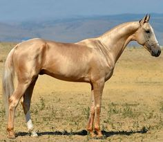 Akhal teke stallion, Magas.
