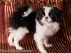 Japanese Chin.... How I miss my midori. This is why I bought you 10 yrs ago. RIP my baby!!!