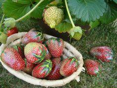 Painted Strawberry Rocks