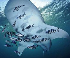 Photograph by @thomaspeschak A school of pilot fish accompanies a whale shark as…