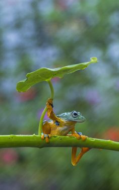 Photo/Caption by I really love nature and especially animals. I try to study their habits and let them pose in the most natural way. When trying to photograph this frog, he suddenly grabbed the leaf, making it look like he was holding an umbrella. Nature Animals, Animals And Pets, Baby Animals, Funny Animals, Cute Animals, Animals In The Wild, Animal Babies, Nature Nature, Funny Frogs