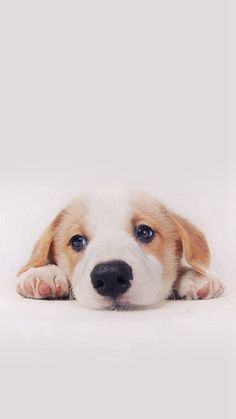 Cute Puppy Dog Pet #iPhone #6 #plus #wallpaper