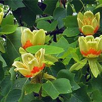 Tulip Poplar Tree Blooms - Zone 4-9; 70-90'H x 30-50'W; Round form, Full Sun; blooms Spring & Summer.  Plant a few along the border lines.  Goal is to naturalize the borders mixing tall medium and small height trees like they would be in nature!