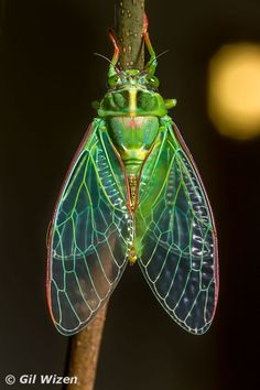 A newly emerged cicada, Kikihia sp., with the moon shining in the background Ems Tattoos, Insect Photography, Bug Art, Beautiful Bugs, Bugs And Insects, Art Series, Art For Art Sake, Robot Design, Science And Nature