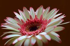 'Gerbera' von lisa-glueck bei artflakes.com als Poster oder Kunstdruck $18.03
