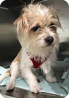 5/13/17 New York, NY - Jack Russell Terrier/Shih Tzu Mix. Meet Enzo!, a dog for adoption. http://www.adoptapet.com/pet/18114554-new-york-new-york-jack-russell-terrier-mix #shihtzu