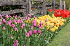 tulipany_w_ogrodzie_621x0_rozmiar-niestandardowy.jpg (621×413)