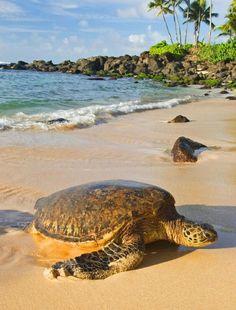 Sea Turtle on Hawaii shore