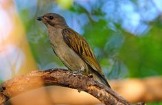 Lesser Honeyguide   (Indicator minor)