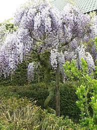 Wisteria sinensis op stam - Google zoeken Ibiza Fashion, Wisteria, Garden Landscaping, Garden Design, Herbs, Landscape, Flowers, Plants, Outdoor