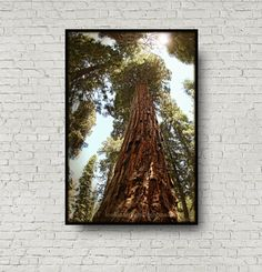 Tree Photography Giant Sequoia Woodlands Photo by Lookinforlight