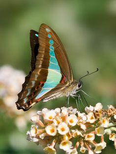 Blue Traingle Butterfly - Pixdaus