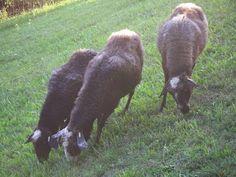 Goats, Cow, Animals, Farm Animals, Catholic, Sheep, Education, Nature, Animales