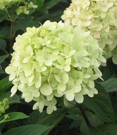 Limenraikkautta istutuksiin. Spring, Fruit, Flowers, Plants, Hydrangeas, Moonlight, Garden Ideas, Gardens, Outdoor Gardens