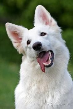 Puppies are a rare breed Berger Blanc Suisse from titled ancestors professional cultivation. Rare Dogs, Rare Dog Breeds, Beautiful Dogs, Animals Beautiful, Pet Dogs, Dogs And Puppies, Doggies, White Swiss Shepherd, White German Shepherds
