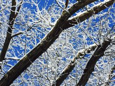 Snow on oak tree branches; Nature photography; Iowa winter; Canon EOS 6D;