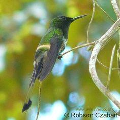 Conhecendo os Animais: Aves Apodiformes e Galbuliformes bandeirinha