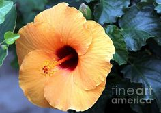 Peach Hibiscus by Margaret Hamilton Margaret Hamilton, Hibiscus, Greeting Cards, Peach, Wall Art, Studio, Plants, Peaches, Flora