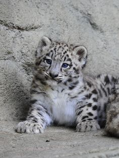 """Mohan"" Young Snow Leopard at Zurich Zoo of animal photography"
