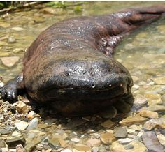 The Chinese giant salamander (Andrias davidianus) is the largest salamander and largest amphibian in the world, reaching a length of 180 cm (6 ft), although it rarely – if ever – reaches that size today. It is endemic to rocky, mountain streams and lakes in China, as well as Taiwan, probably as a result of introduction.