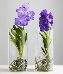 Hottest Totally Free vanda Orchids Tips When you are new to the world of orchids , avoid being scared of them. Many orchids might be simple Water Culture Orchids, Orchids In Water, Rare Flowers, Exotic Flowers, Beautiful Flowers, Phalaenopsis Orchid Care, Orchid Plants, Orchid Seeds, Orchid Terrarium