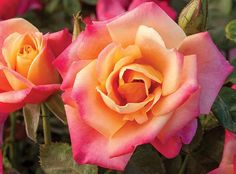 Polynesian Punch™ PPAF | Star® Roses and Plants | #PlantAStar
