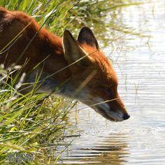 Red fox.....thirsty!