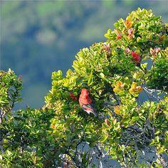 Apapane (Hawaiian Honey Creeper) / Ohia tree, Hawaii