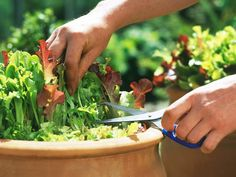 Grow a Bowl of Salad in Pots. Salad greens are among the easiest vegetables to grow, require little space and mature in a few weeks. Heres how to nurture a healthy salad bowl close to your kitchen. Farm Gardens, Outdoor Gardens, Outdoor Plants, Indoor Garden, Garden Plants, Container Gardening, Gardening Tips, Easy Vegetables To Grow, Gardening Vegetables