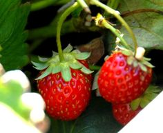 The 5 Easiest and Yummiest Fruits to Grow in a Container Garden!